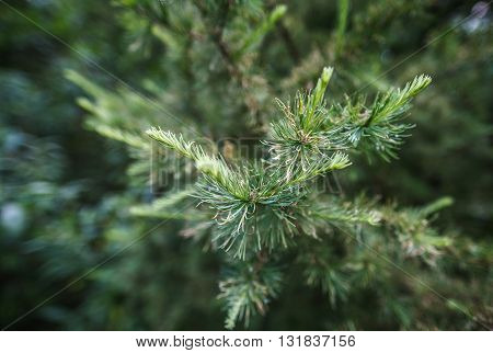 Pine branch with young shoots in springtime