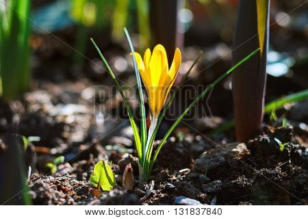 yellow flower crocus grows in the grass in kontrovom light