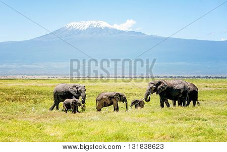 Family of Elephants in Kenya with Kilimanjaro mount in the background Africa