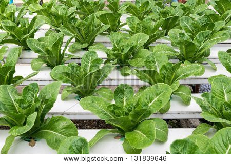 Hydroponic vegetables growing in greenhouse. hydroponic, farm, green, vegetable,