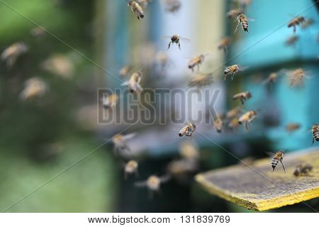 Bees at beehive. Hives in an apiary with bees flying to the landing boards