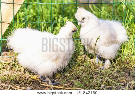 Two Silkie chick in hen house. The Silkie is a breed of chicken named for its atypically fluffy plumage, which is said to feel like silk, and satin. They are often exhibited in poultry shows.
