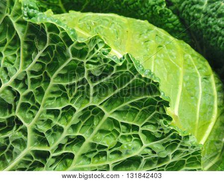 Savoy cabbage, full frame shot or detail shot
