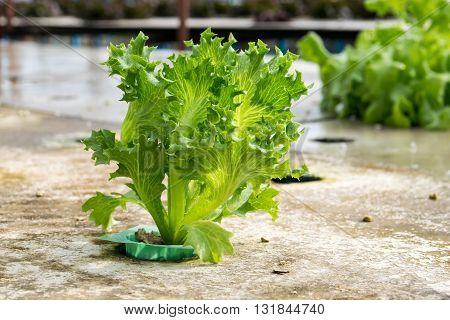 cultivation hydroponics green vegetable in farm, hydroponic, farm, green