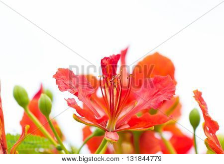 Pollen red flowers that are blooming beautifully. On dim white sky background.