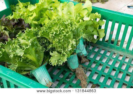 Hydroponic vegetable in basket. basket, hydroponic, farm, green, garden