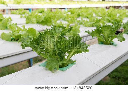 cultivation hydroponics green vegetable in farm, hydroponic, farm,