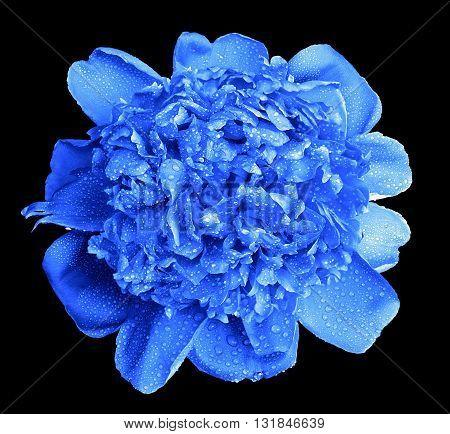 Surreal Wet Blue Peony Flower Macro Isolated On Black