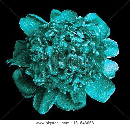 Surreal Wet Turquoise Peony Flower Macro Isolated On Black