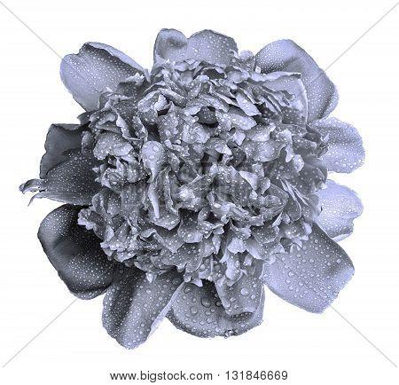 Wet Grey Peony Flower Macro Isolated On White