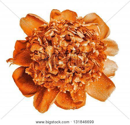 Colorful Wet Orange Peony Flower Macro Isolated On White