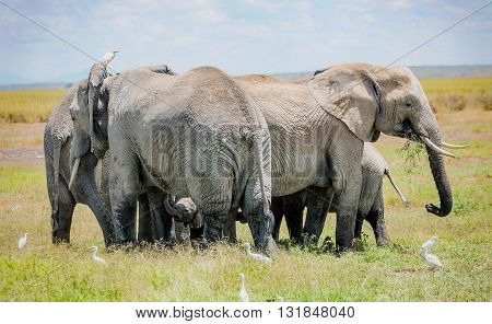 Herd of Elephants protecting baby elephant in Kenya Africa