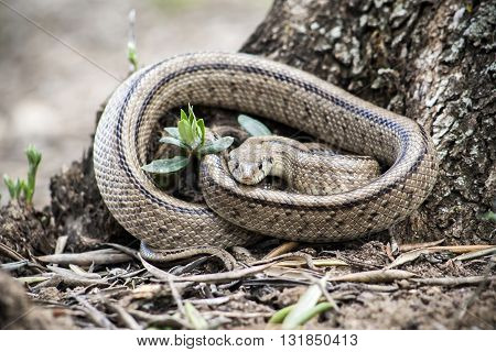 Rhinechis scalaris called also stairs Snake Spain