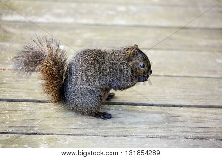 Gray squirrel in a Houston park of Texas USA
