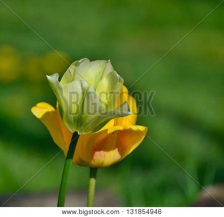 view of tulip flower South Bohemia Czech Republic