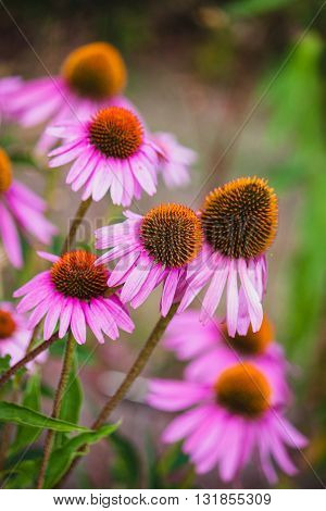 Group of Echinacea flowers in a garden