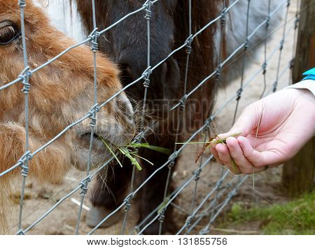 Boryszew, Poland - May 03, 2016: Young girl feeds the grid grass Shetland pony in a zoo in Boryszew.