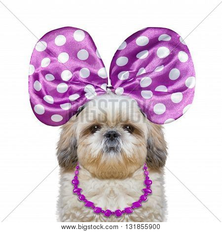 cute pretty dog with bow-knot and necklace -- isolated on white