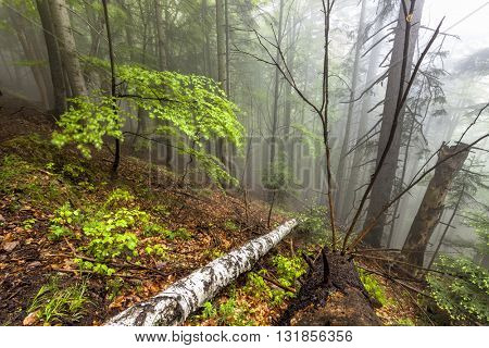 Foggy natural forest with fallen trees in Romanian Carpathian mountains