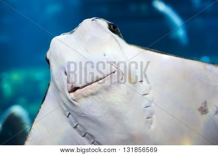 Stingray is smiled in the blue water in aquarium
