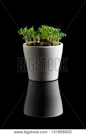 white vessel of green blowong cress on black background