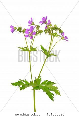 Geranium (Geranium pratense) flower isolated on a white background