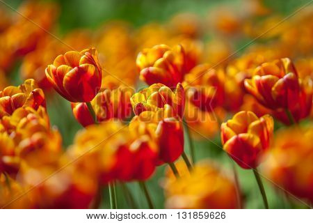 A fragment of orange tulips flower bed