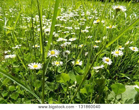 Many daisies flowers on meadow in spring