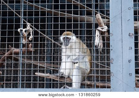 Monkey looking through the bars of the zoo cage