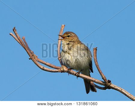 Marsh warbler (Acrocephalus palustris) sitting on a branch and are singing