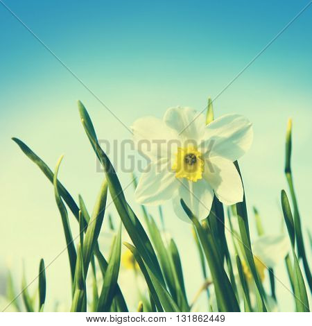 Narcissus at springtime in vintage style.