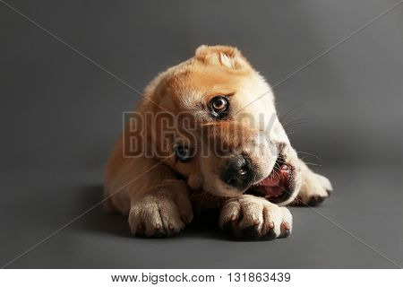 Central Asian Shepherd puppy eating bone on the floor