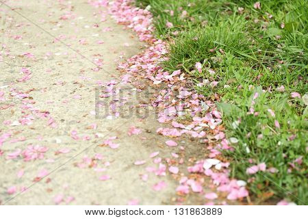 Fallen sakura petals on road