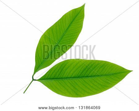 green leaf vein isolated on white background