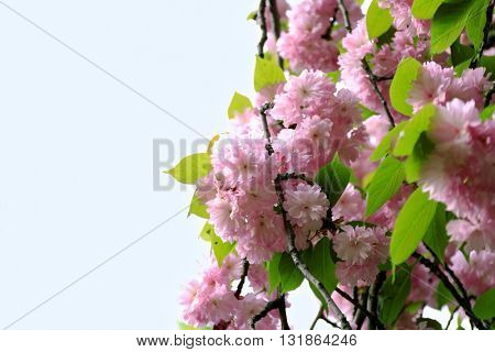 Sakura flowers on a spring day