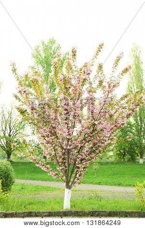 Blooming sakura tree on a spring day