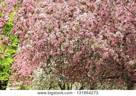 Blooming tree on a spring day