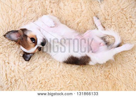 8 Weeks Chihuahua Puppy Is Sleeping