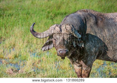 Wild African Buffalo bull wit one broken horn Kenya