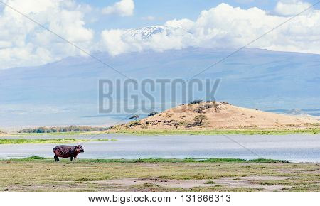 Hippo by the water in Kenya with Kilimanjaro mountain in the background