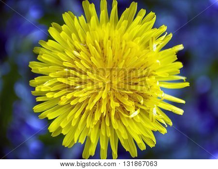 Yellow dandelion flower on a contrasting blue background