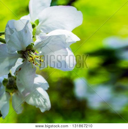 Opened white Apple blossom. Closeup on green background
