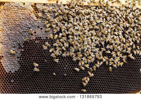 Queen Bee Close Up