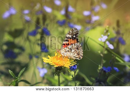 pearl spotted a butterfly sitting on yellow dandelion on a flowered field