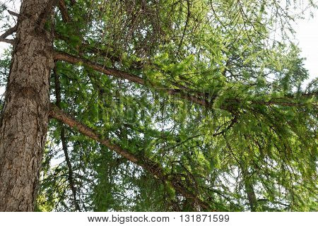 large branches and trunks of larch tree closeup