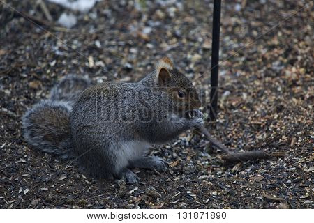 Grey squirrel eating seeds littering the ground beneath a backyard bird feeder.