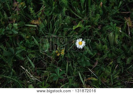 One small Daisy on a green lawn