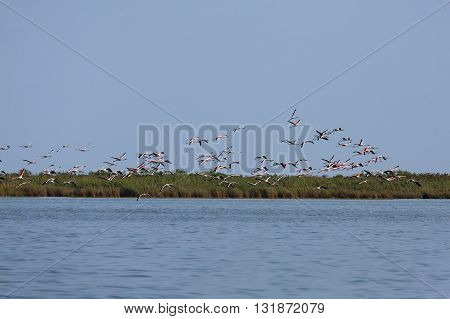 Flock of pink flamingos flying from