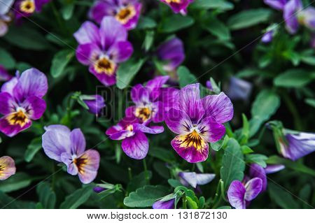 Purple and white pansies on a background of lush green