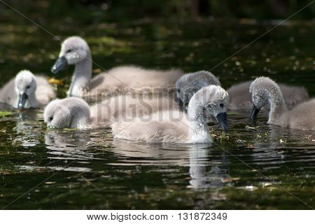 Swan with chicks, Cygnus Ugly ducklings Selective focus